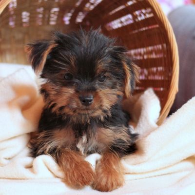 Caleb - ACA Yorkshire terrier