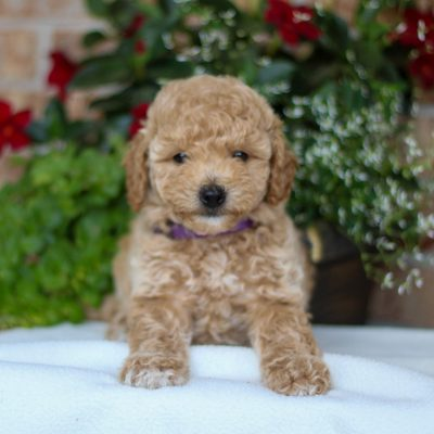 Callie - puppie F1 Bichpoo for sale near Gap, Pennsylvania