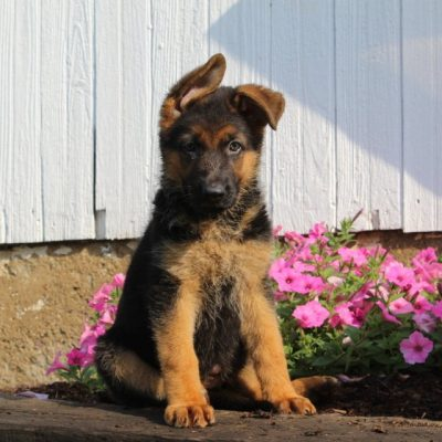 Candace - AKC German Shepherd pupper for sale in New Providence, Pennsylvania