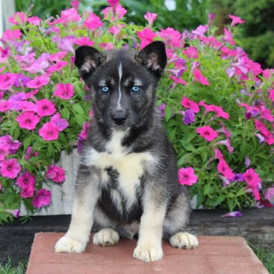 Candy - AKC Siberian Husky female pupper for sale at Kirkwood, Pennsylvania