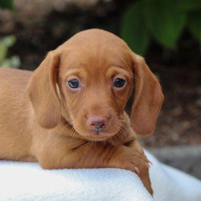 Charlie - Dachshund male doggie for sale near East Earl, Pennsylvania