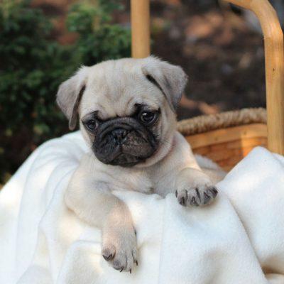 Charlie - ACA Pug