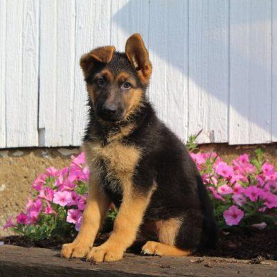 Chelsie - female AKC German Shepherd puppie for sale at New Providence, Pennsylvania