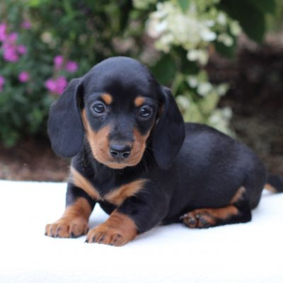 Chuck - Dachshund male puppie for sale at East Earl, Pennsylvania