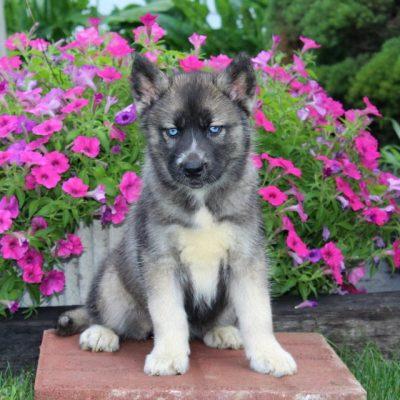 Cindy - female AKC Siberian Husky puppie for sale near Kirkwood, Pennsylvania