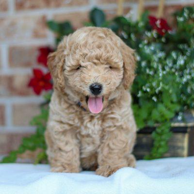 Cody - F1 Bichpoo male puppy for sale at Gap, Pennsylvania