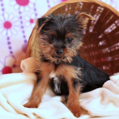 Colby - ACA Yorkshire terrier