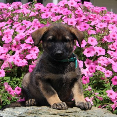Daisy - AKC German Shepherd