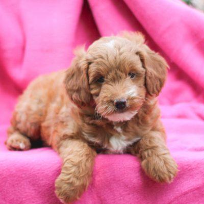 Daisy - F1b Mini Goldendoodle
