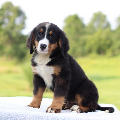 Damian - AKC Bernese Mountain Dog