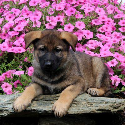 Danny - AKC German Shepherd