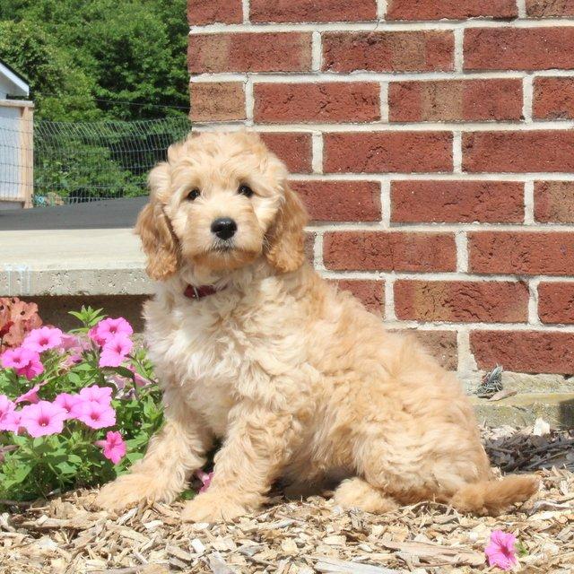 Darla - F1 Mini Goldendoodle female pupper for sale near Airville, Pennsylvania
