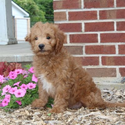 Daryl - F1 Mini Goldendoodle male pup for sale in Airville, Pennsylvania
