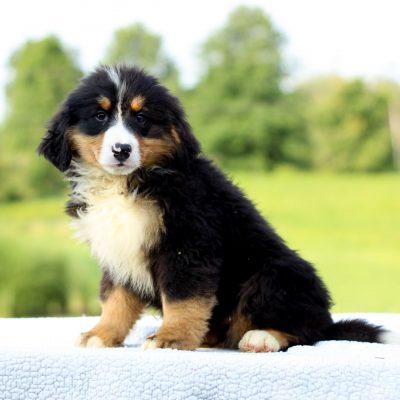 Davis - AKC Bernese Mountain Dog