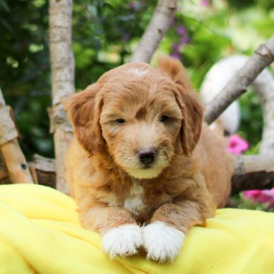Deisel - F1b Mini Goldendoodle male doggie for sale at Gap, Pennsylvania