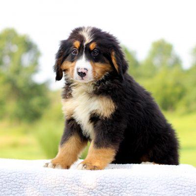 Deisel - AKC Bernese Mountain Dog