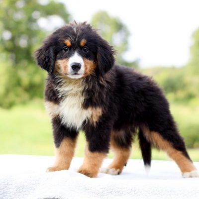 Demi - AKC Bernese Mountain Dog