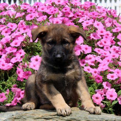 Derek - AKC German Shepherd