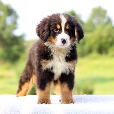 Dexter - AKC Bernese Mountain Dog