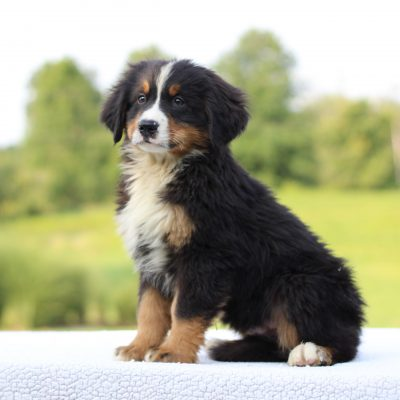 Diego - AKC Bernese Mountain Dog male puppie for sale at Bethel, Pennsylvania