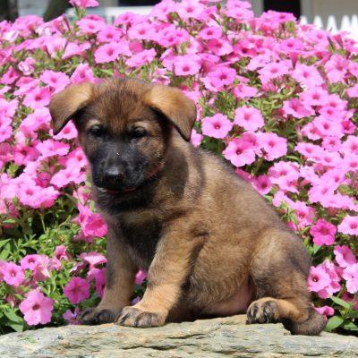 Dolly - AKC German Shepherd