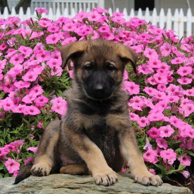 Donald - AKC German Shepherd