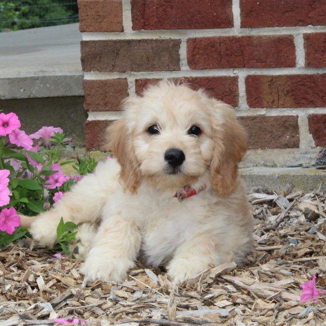 Donna - F1 Mini Goldendoodle female puppy for sale near Airville, Pennsylvania