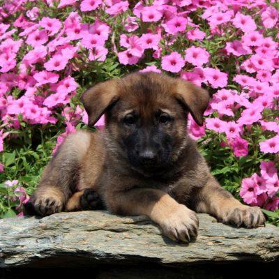 Drake - AKC German Shepherd