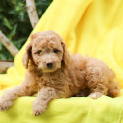 Duke - F1b Mini Goldendoodle
