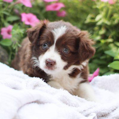 Sage - ACA Mini Australian Shepherd