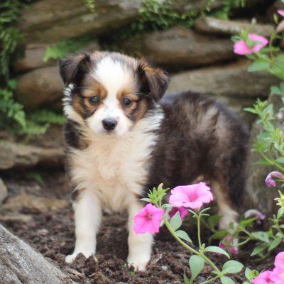 Sasha - ACA Mini Australian Shepherd