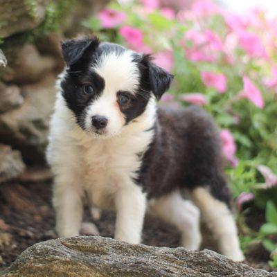 Skyla - ACA Mini Australian Shepherd