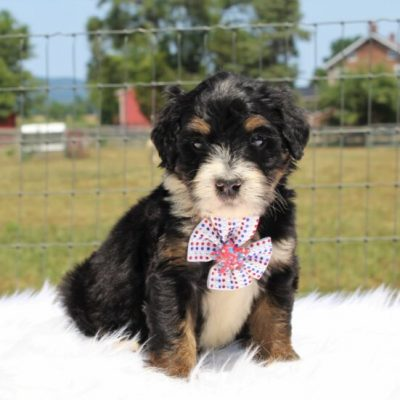Firecracker - Bernedoodle, Well socialized with kids, Going home package !!