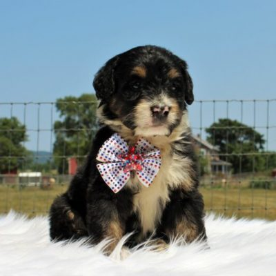 Firefly - Bernedoodle, Well socialized with kids, Going home package !!