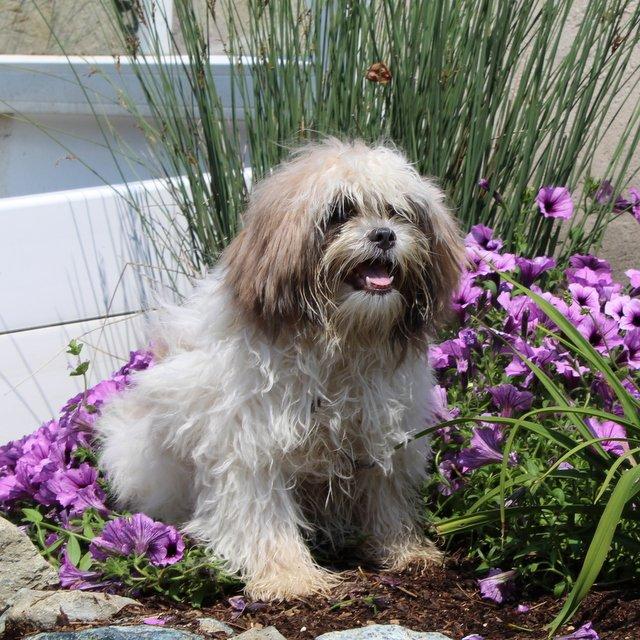 Flower - female Shih Tzu doggie for sale at New Providence, Pennsylvania