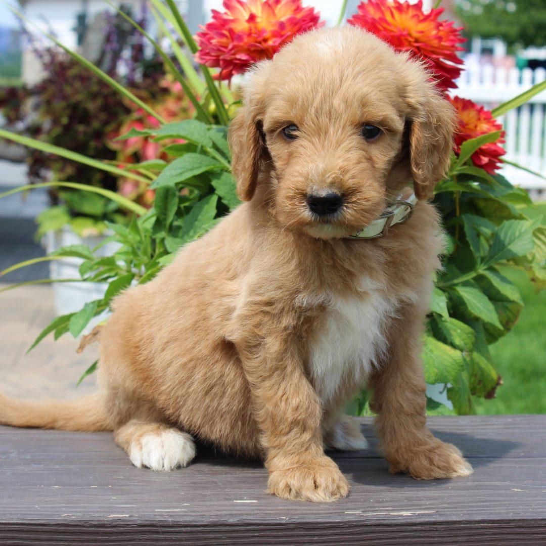 Gina- F1 Goldendoodle female puppy for sale near Gordonville, Pennsylvania