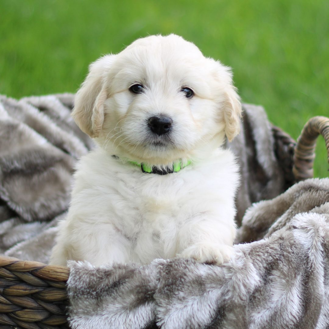 Hudson - F1 Mini Goldendoodle male pupper for sale at Newmanstown, Pennsylvania