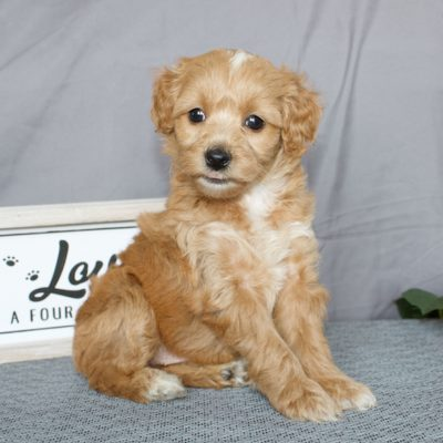 Karly - Mini Goldendoodle