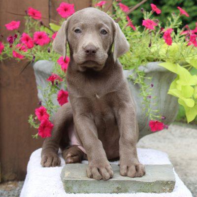 Lemon - AKC Labrador retriever