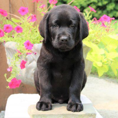 Liam - AKC Labrador retriever