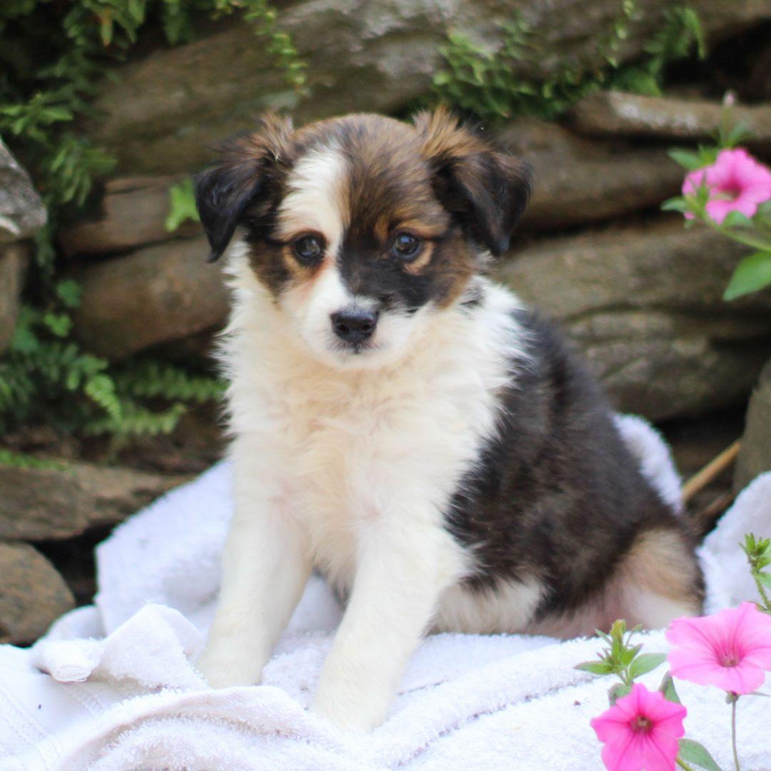 Scout - male ACA Mini Australian Shepherd pupper for sale near Strasburg, Pennsylvania