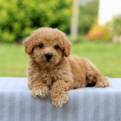 Mack - F1 Bichpoo puppie for sale near Narvon, Pennsylvania