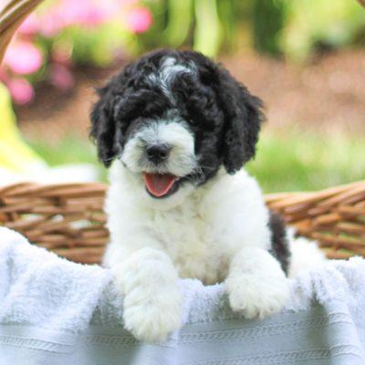 Maddie - F1b Mini Labradoodle female doggie for sale at Gap, Pennsylvania