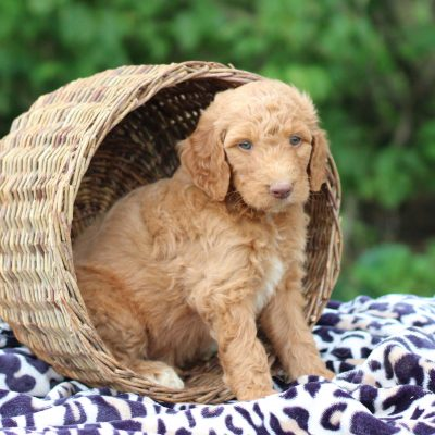 Copper - Goldendoodle male doggie for sale in Chambersburg, Pennsylvania