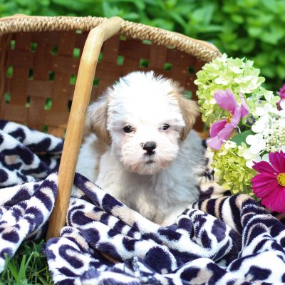 Sylvan - Shih-tzu/Jack Russell Mix male puppy for sale in East Earl, Pennsylvania