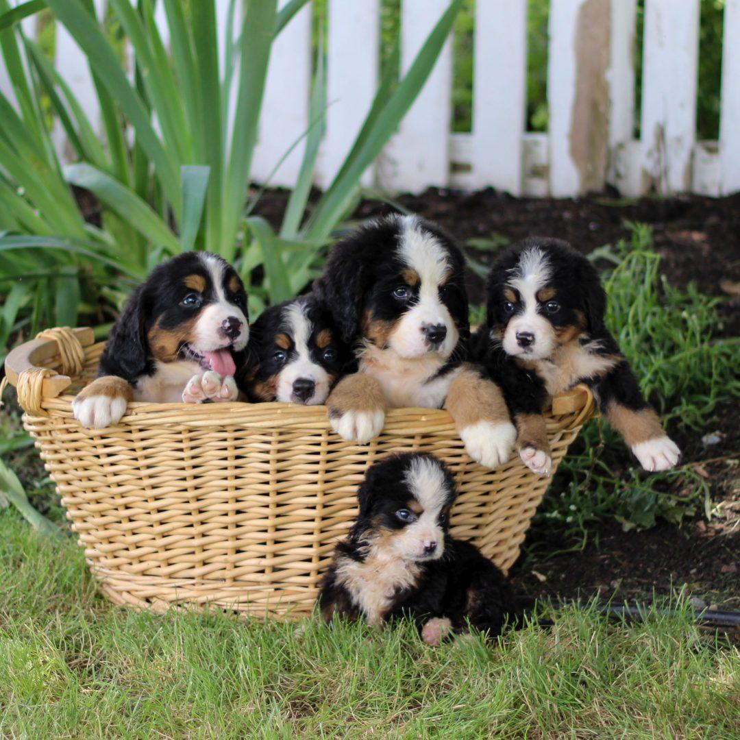 Suds - female AKC Bernese mountain Dog pupper for sale in Narvon, Pennsylvania