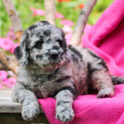 Mia - F1b Mini Labradoodle female puppy for sale near Gap, Pennsylvania