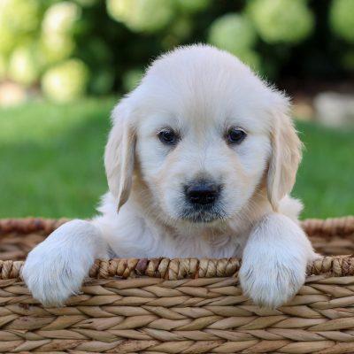 Nora - ACA English Cream Golden Retriever puppy for sale in Gap, Pennsylvania