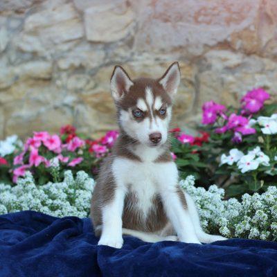 Peppermint - Siberian Husky