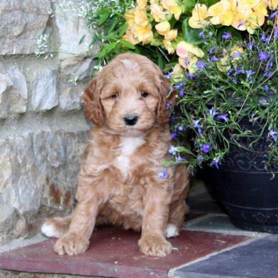 Rachel - F1b Mini Goldendoodle female pup for sale in Quarryville, Pennsylvania